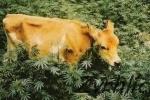 Veselá krava